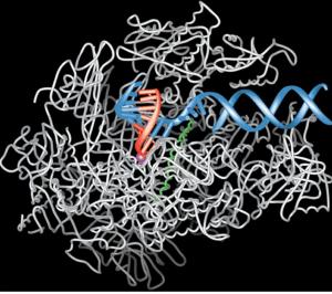 transcriptionprocess