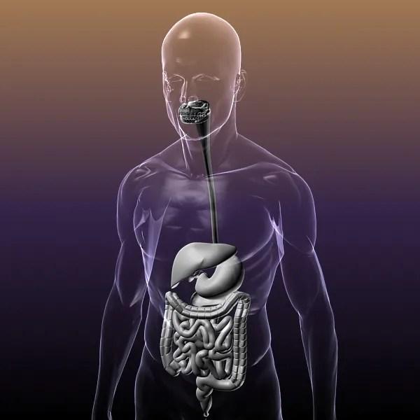 Human Anatomy: Digestive System 3D Model - FlatPyramid