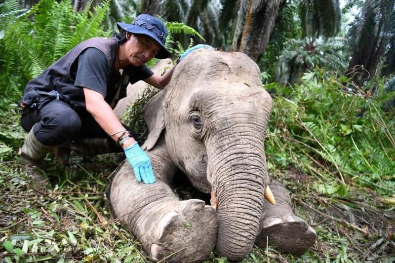 Penolong Pengurus Unit Penyelamat Hidupan Liar Sabah Jibius Dausip memeriksa keadaan gajah yang cedera sebelum dipindahkan ke Santuari Gajah Borneo (BES) untuk rawatan. FOTO BERNAMA