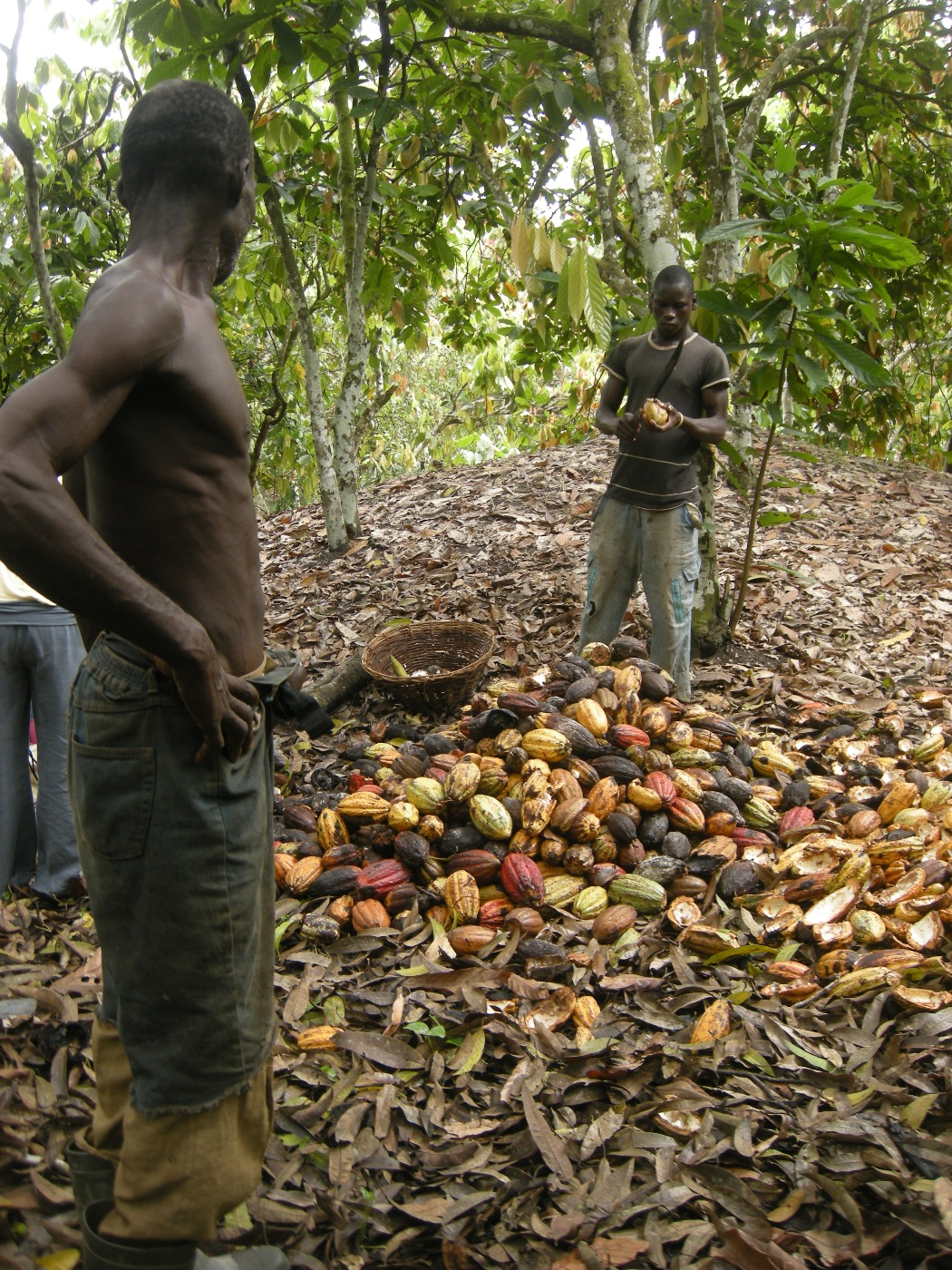 Irin Cocoa Farmers Welcome State Imposed Prices