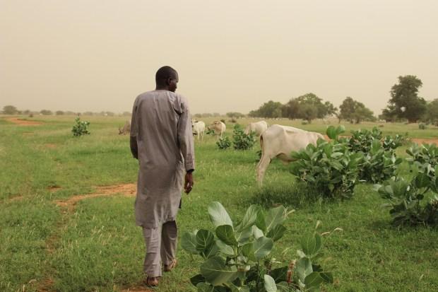 A Senegalese man walks away through low-lying greenery