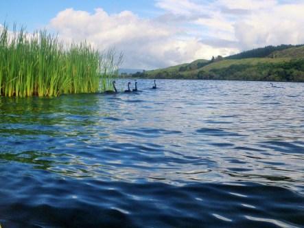 11-te-weta-bay-swans