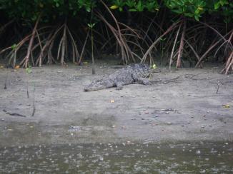 Daintree 7 Croc