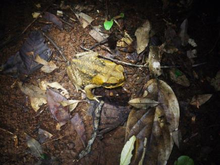 Daintree 19 cane toad