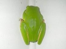 Mareeba 2 frog