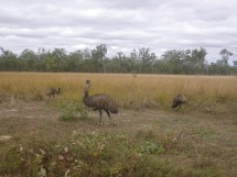 Mareeba 9 more emu