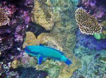 Cairns snorkeling 3 Parrotfish