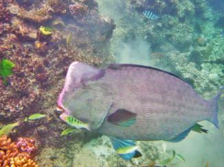 Cairns snorkeling 14 Humphead parrotfish