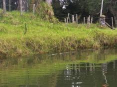 Whananaki Inlet 7 Pateke ducklings