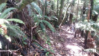 08-waitomo-forest-road