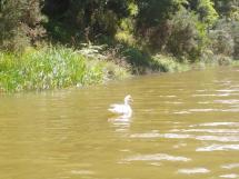 03-topuni-river-muscovy-duck