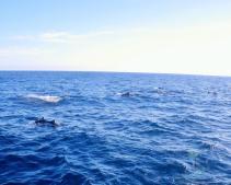 White-Island-2-Common-dolphin