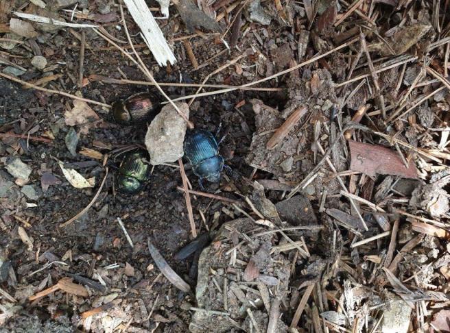 KK day 8 irridescent beetles