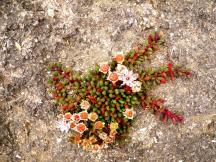 Castlepoint Flowering succulent