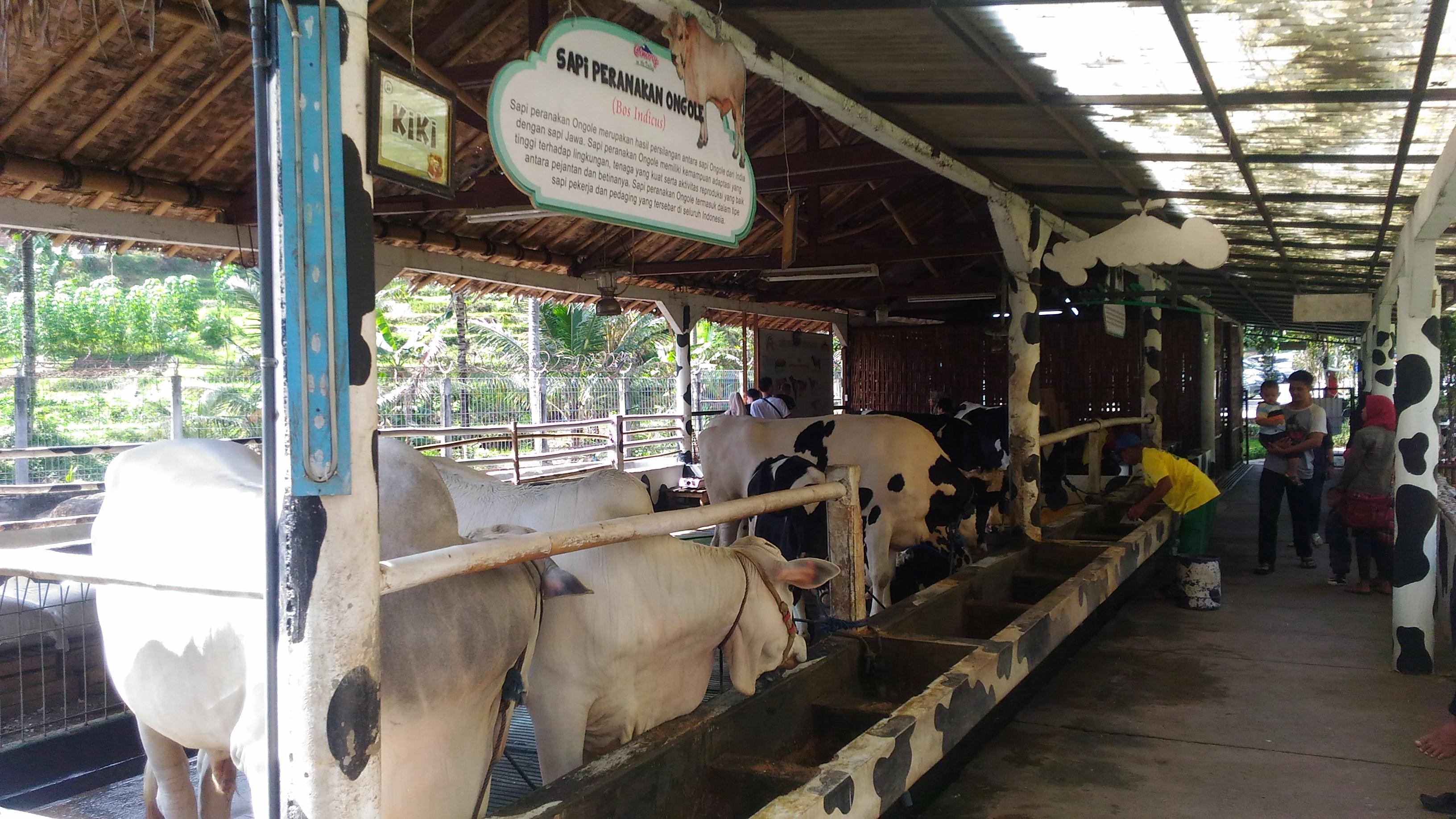 Peternakan Sapi Perah Mini di Cimory