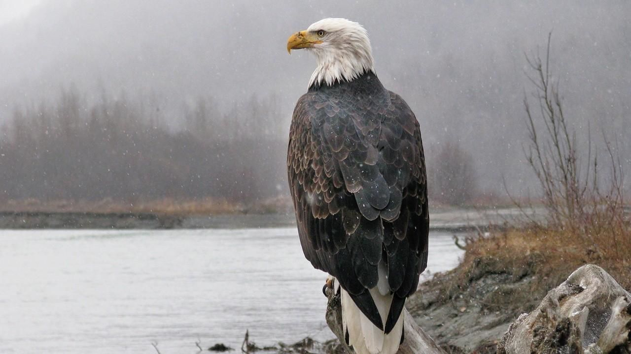美國國鳥: 白頭海鵰傳奇 American Eagle - National Geographic Channel - 香港