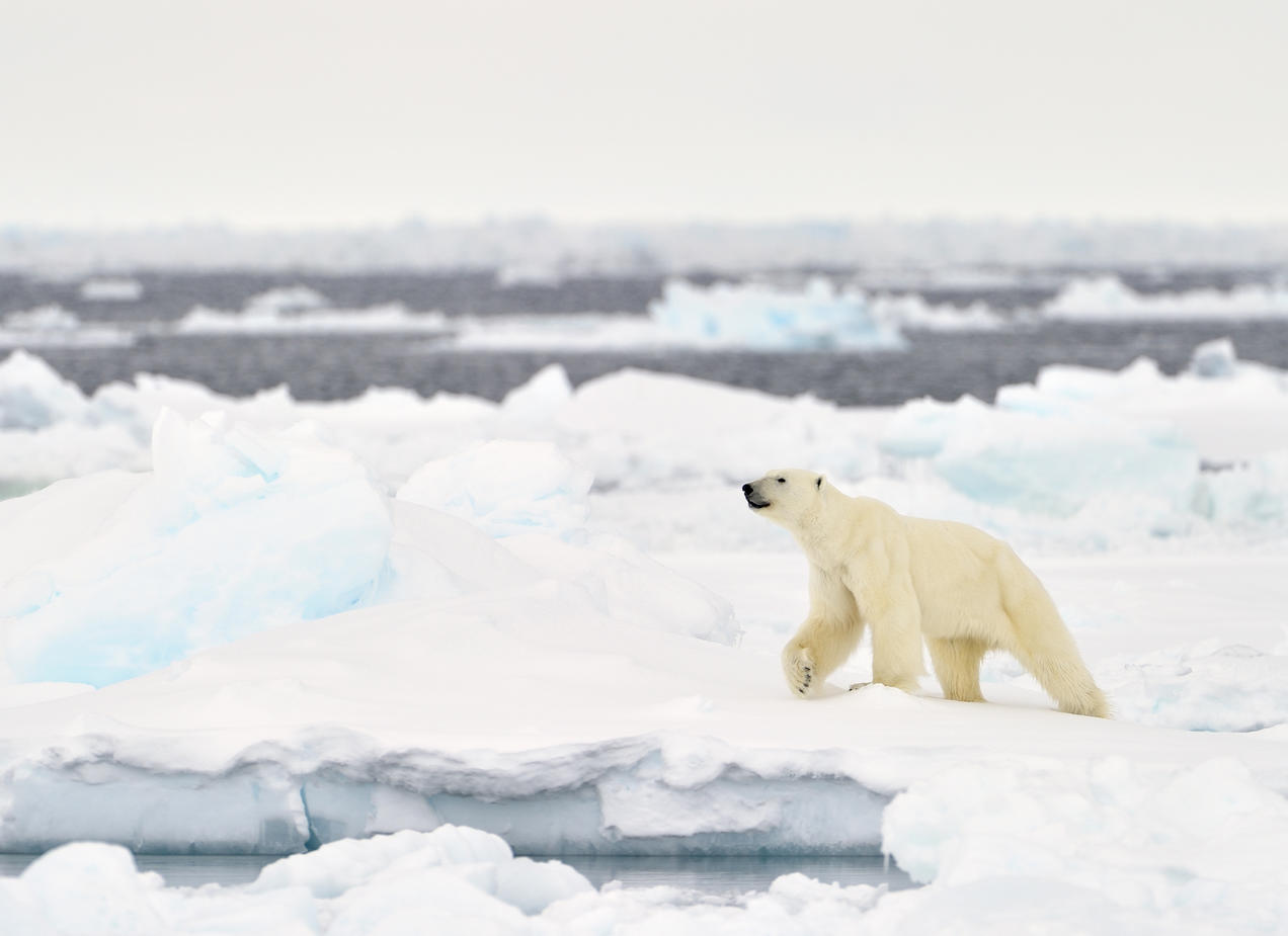 https www nrdc org onearth polar bear climate changes poster child ignites controversy
