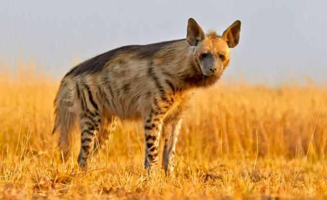 Striped Hyenas Dont Have Magical Powers But Their Disappearing Act Is For Real
