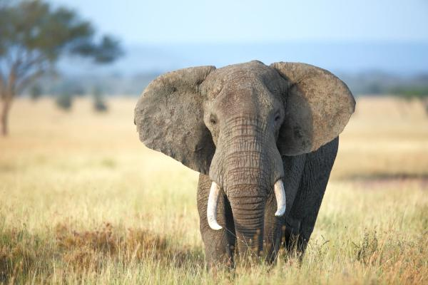 Status Check for African Elephants | NRDC