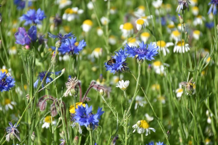 A bee is shown sitting on a blue wildflower. Around it are more wildflowers.