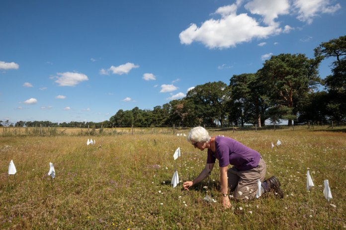 A woman on her knees plants little white flags where she has found plants in an open landscape of short green-yellow grass.