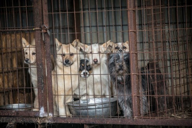 Dogs at Korean meat farm