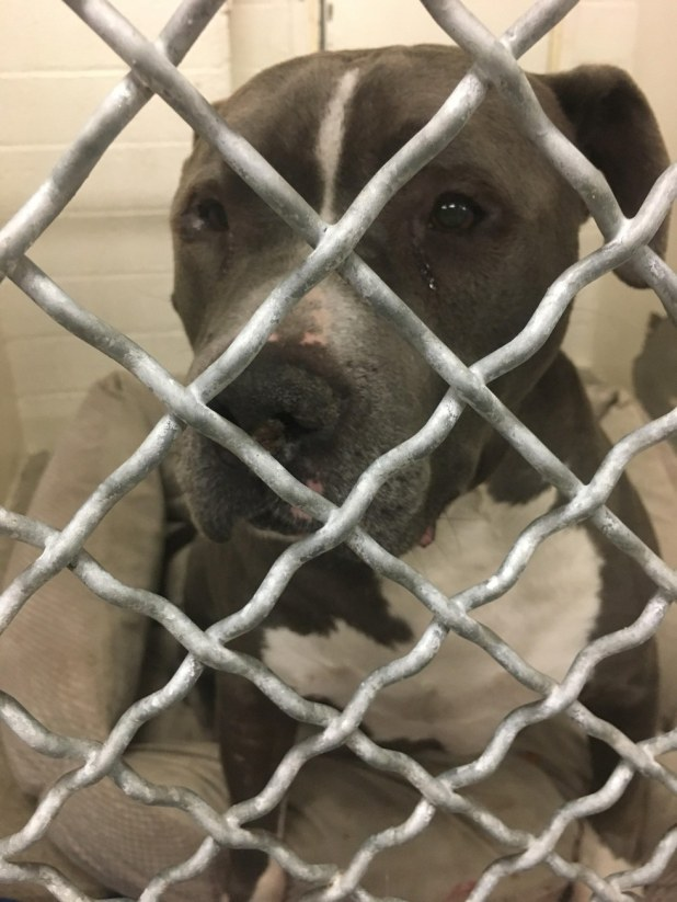Pit bull crying at the animal shelter