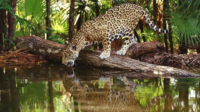 Panthera: At Least 500 Jaguars Lost Their Lives or Habitat in Amazon Fires  - EcoWatch