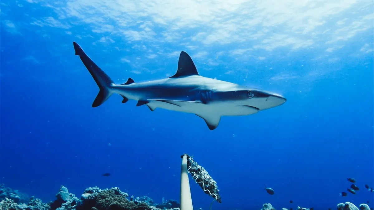 Sharks Are Vanishing From Many of the World's Reefs