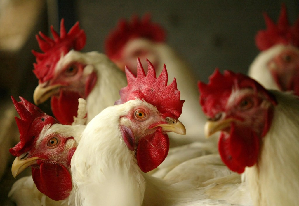 CDC: Stop kissing, cuddling poultry before you get salmonella