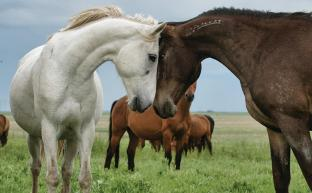 Wild Mustangs of the Flint Hills - KANSAS! magazine