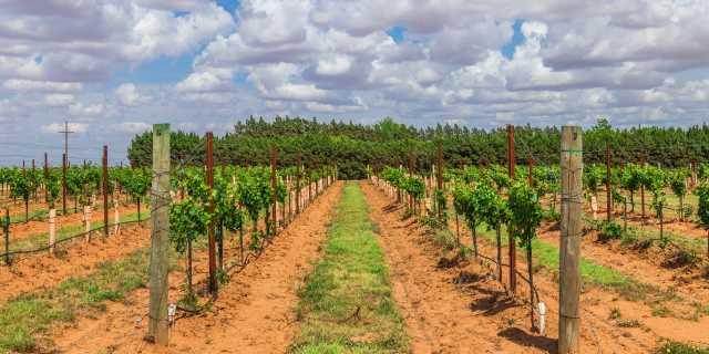 Llano Estacado Vineyard