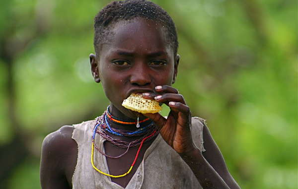 Hadza hunters in Tanzania use the song of an African bird to guide them to bees' nests in baobab trees.