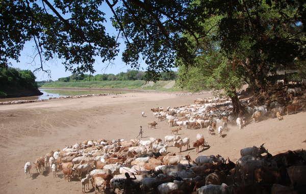 Niños karos y hamares llevan su ganado a beber al río Omo.