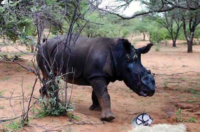 Animals that survive an attack suffer greatly, but there is a belief that antipoaching efforts are making a difference. Rhino 911 Photo