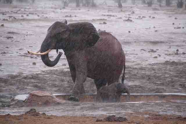 Elephant mom trying to save baby