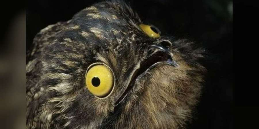 Great Potoo Facts  The Camouflage Bird With A Haunting Call   The Dodo