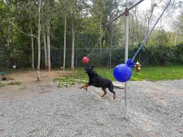 perros jugando tetherball