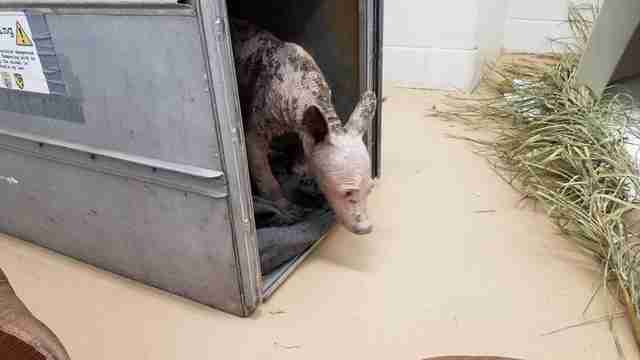 Bald bear with mange at rescue center in California