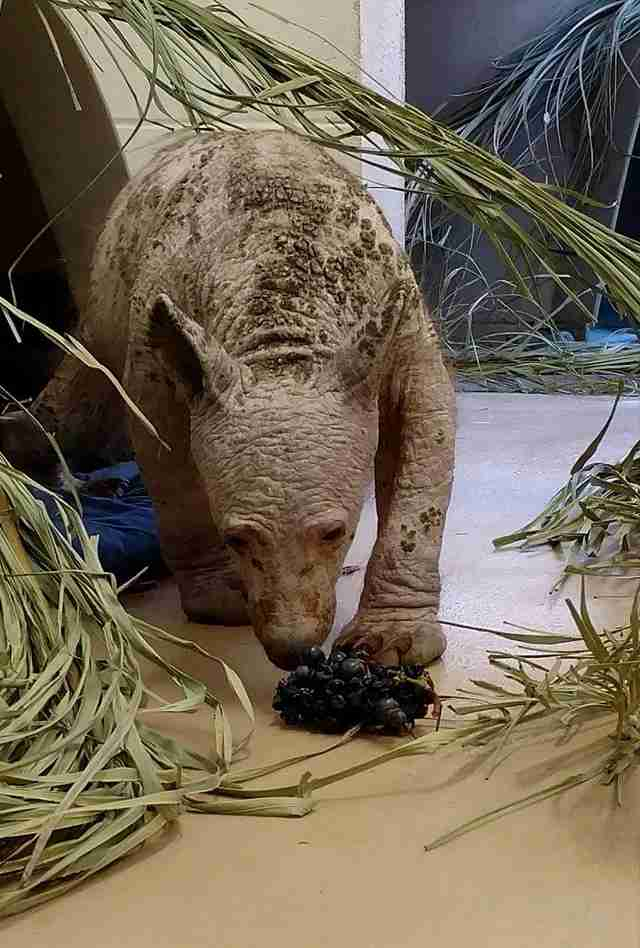 Hairless Black Bear Finds Help At California Wildlife