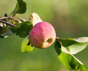 pommes juju