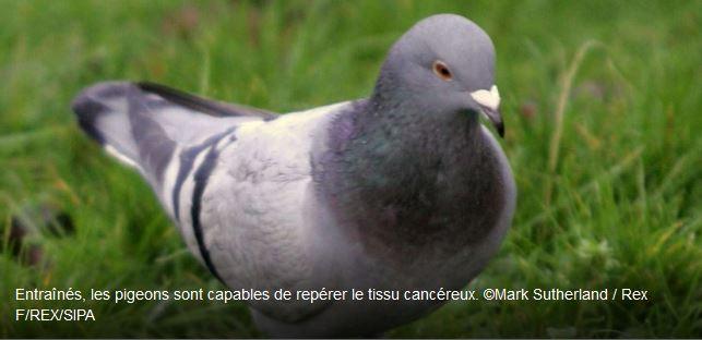 Les pigeons, futurs diagnostiqueurs du cancer humain ?