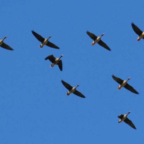 Canada Geese V