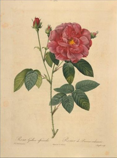 rose-redoute