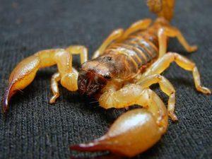 Escorpião amarelo (Matt Reinbold / Creative Commons)