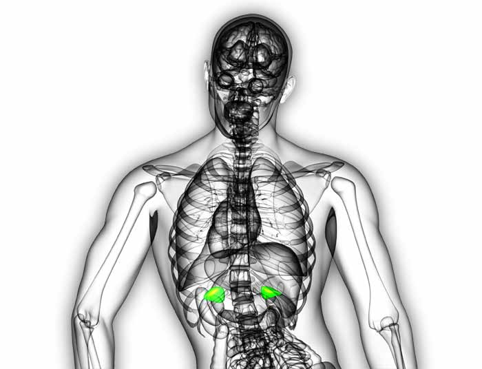 See Through Anatomy Adrenal Glands Ast Sports Science