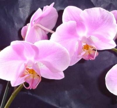 Skånebesök med orkidéer