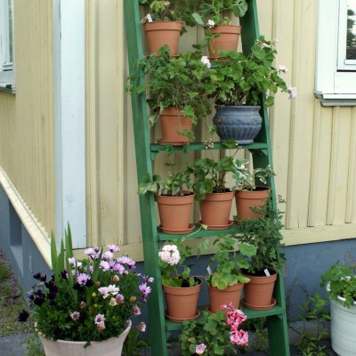 Nyplanterade pelargoner