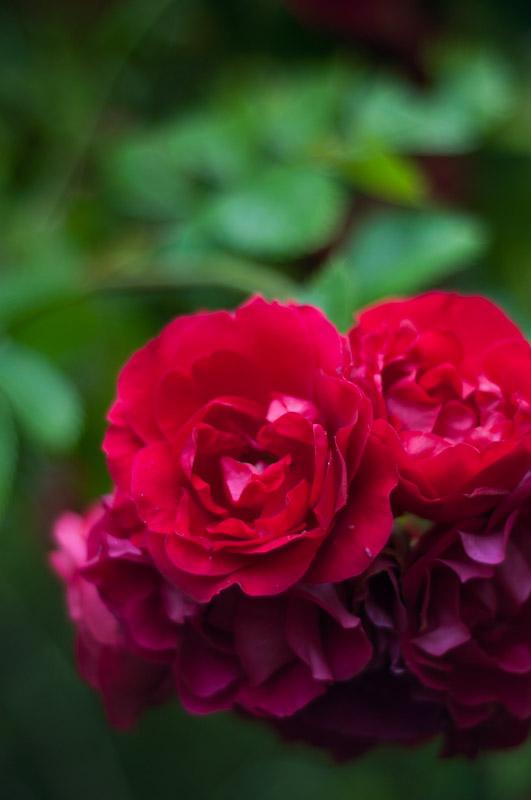 rosor-3
