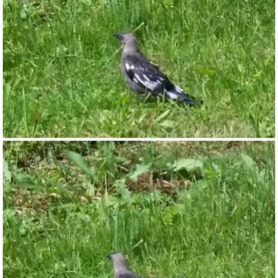 Mysko fågel